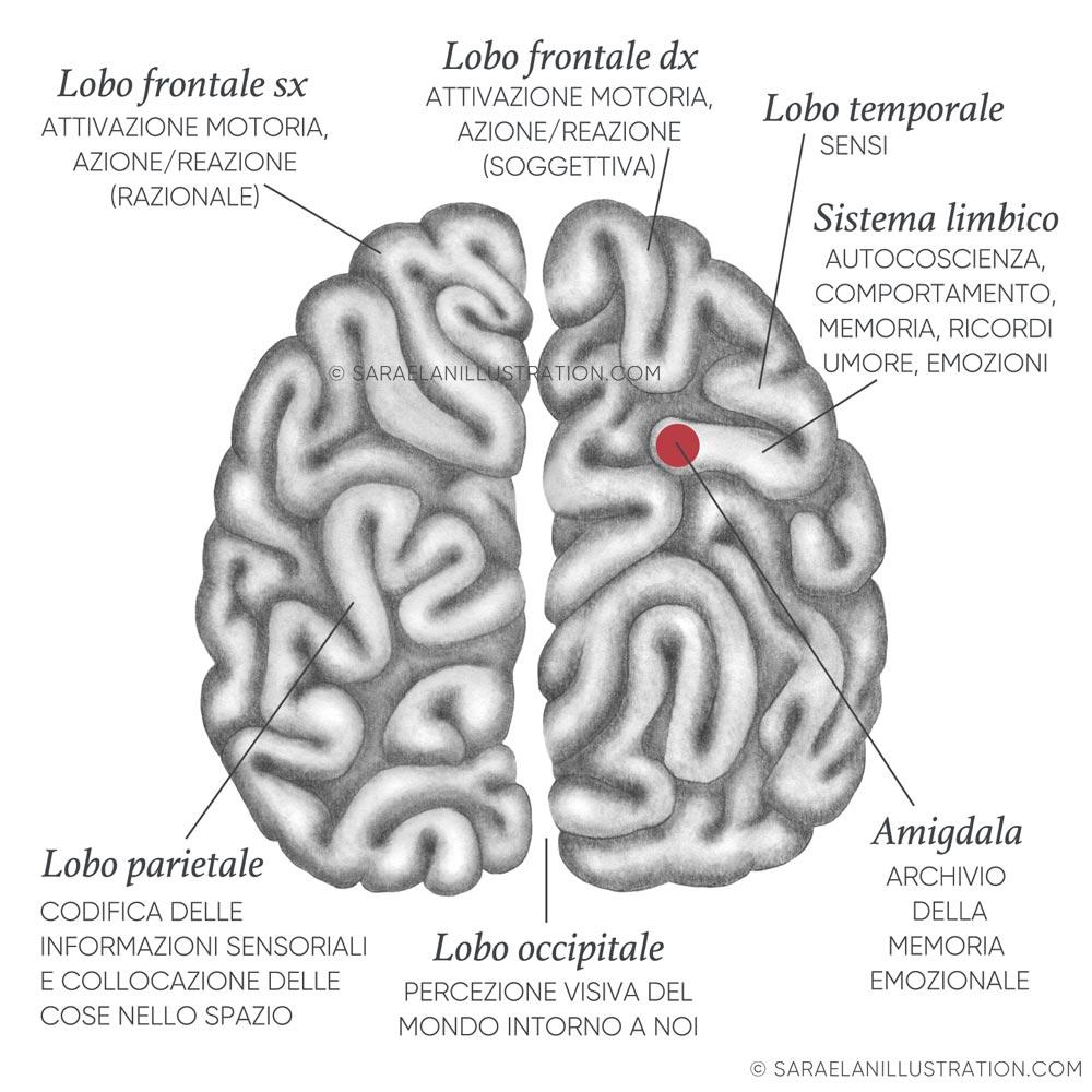 Cervello labirinto lobi e funzioni