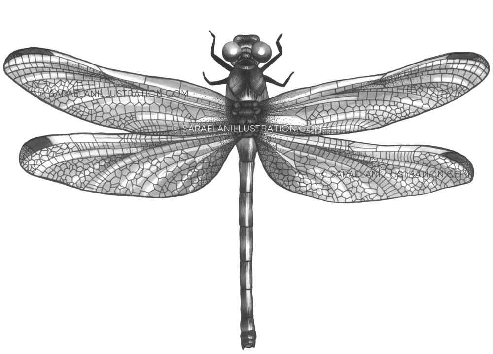 Disegno di libellula