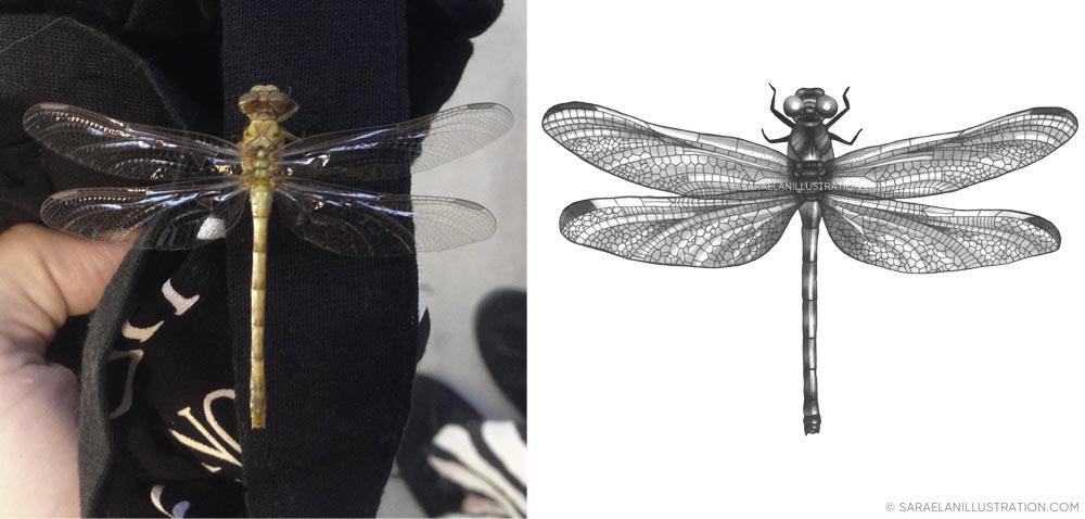 disegno e significato della libellula