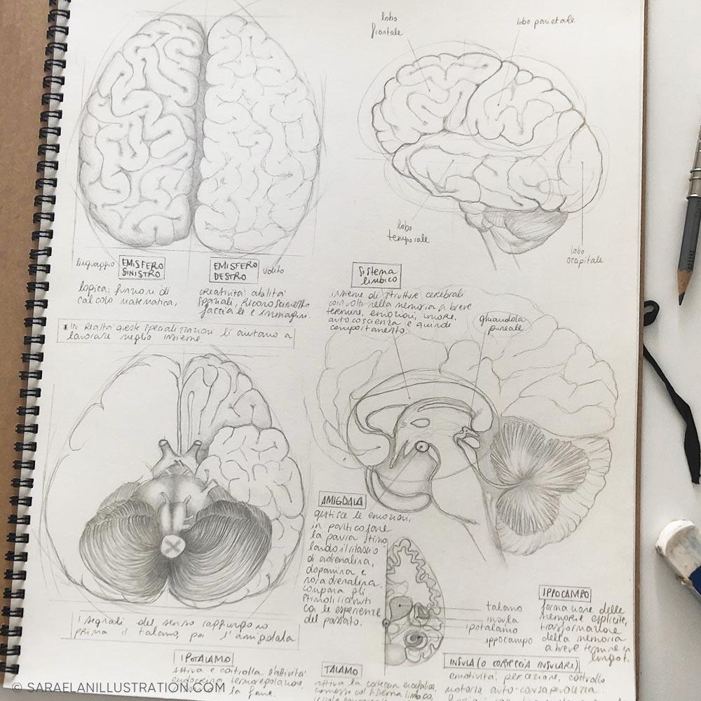 Studio anatomico cervello