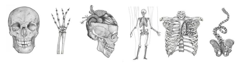Disegni anatomici realizzati a matita e grafite da Sara Elan Donati